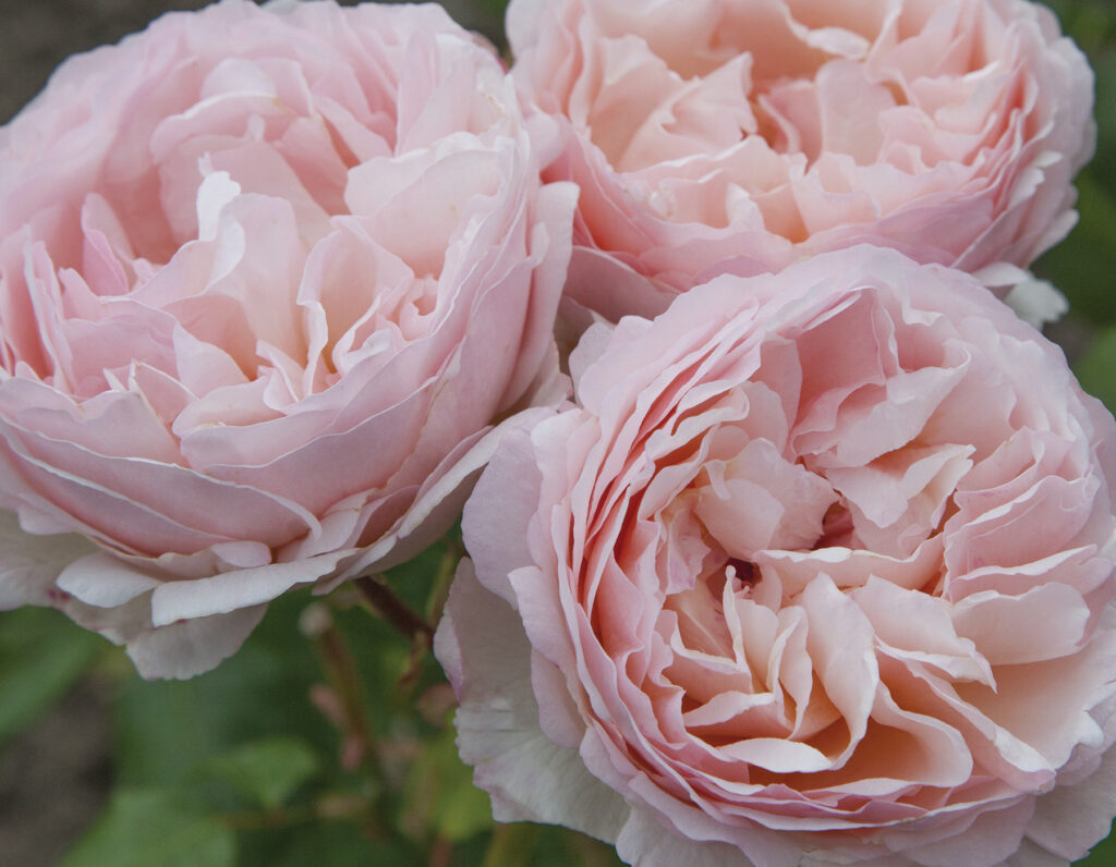 Go to American Garden Rose Selections website
