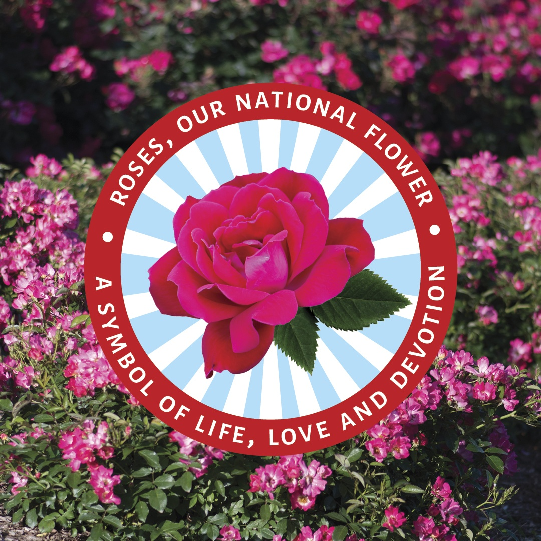 Open Roses, our national flower, a symbol of life, love and devotion Instagram post