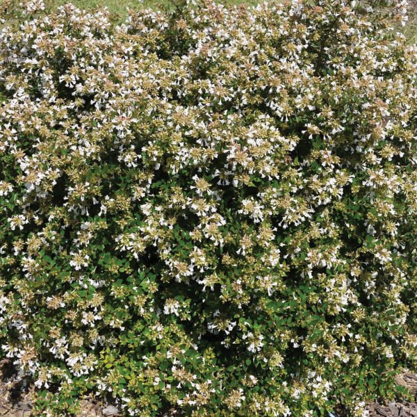 Abelia Apple Perfection