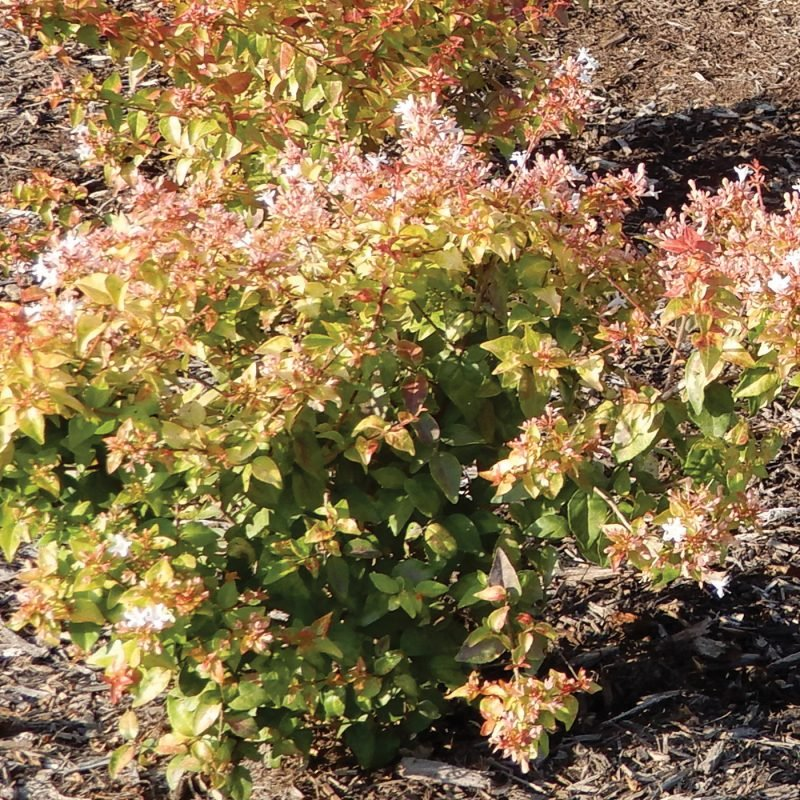 Peach Perfection Abelia
