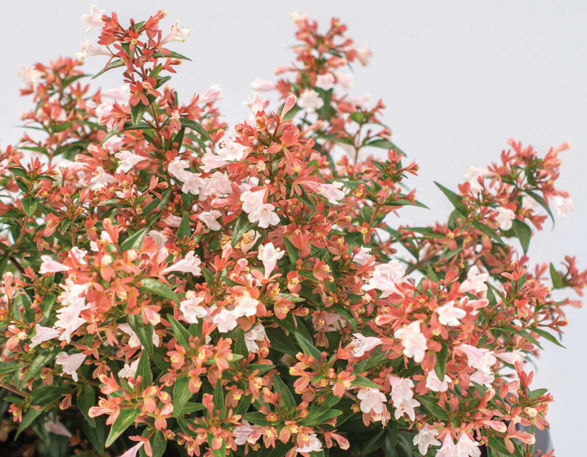 Abelia Raspberry Perfection