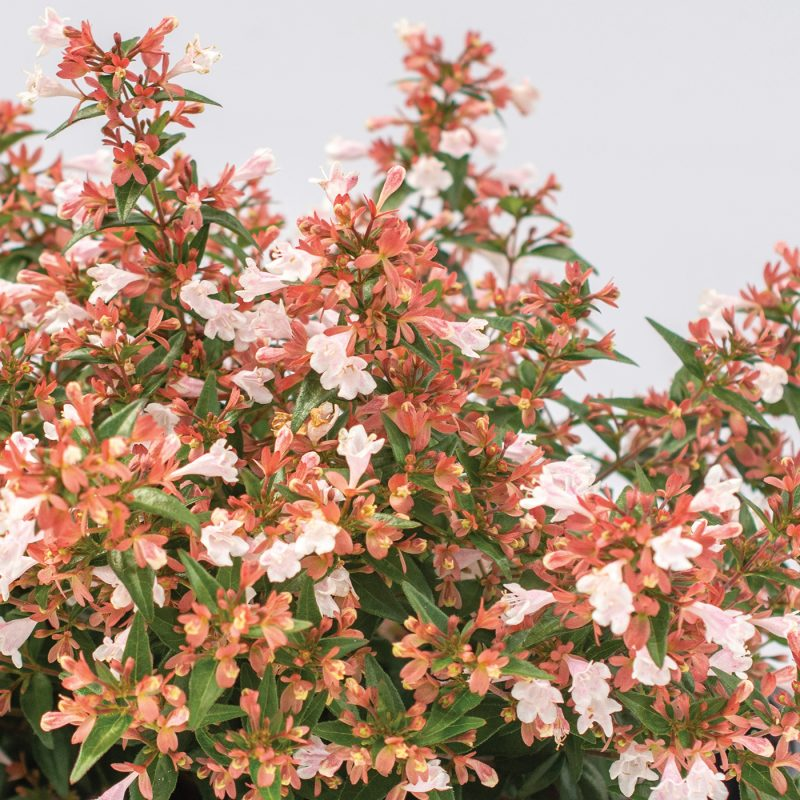 Abelia Raspberry Perfection