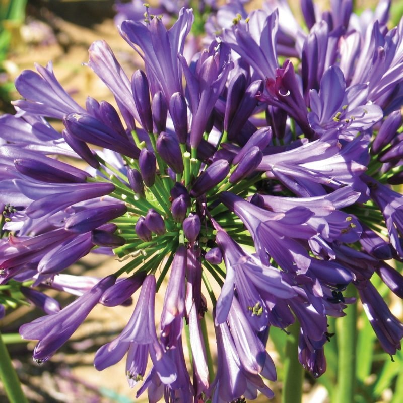 Straight A Purple Delight Agapanthus 1