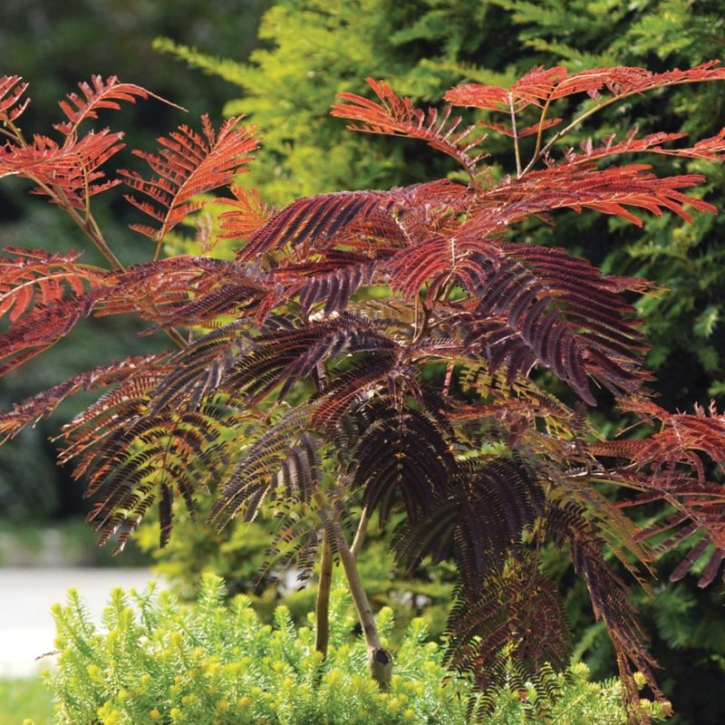Albizia Summer Chocolate