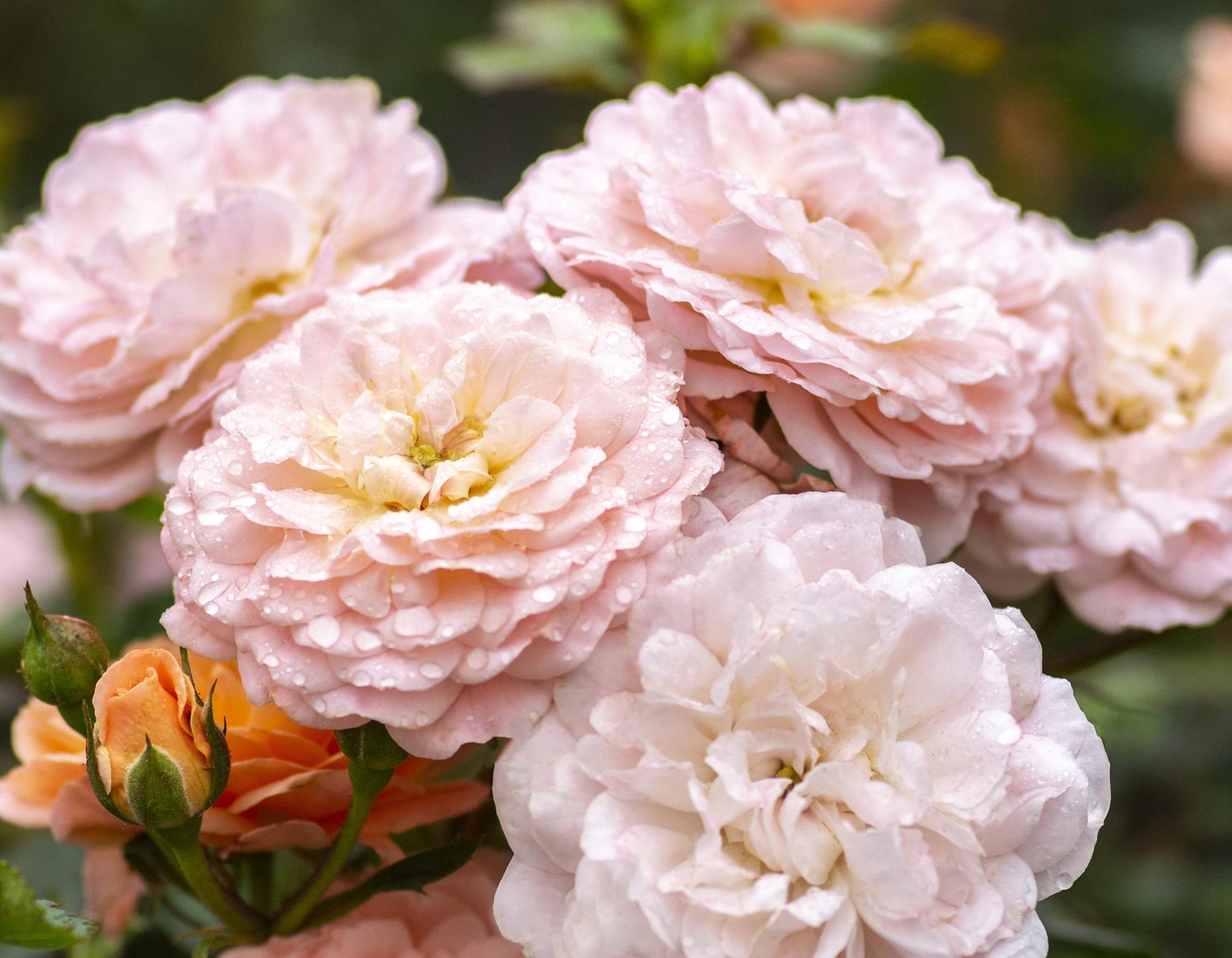 Apricot Drift Rose