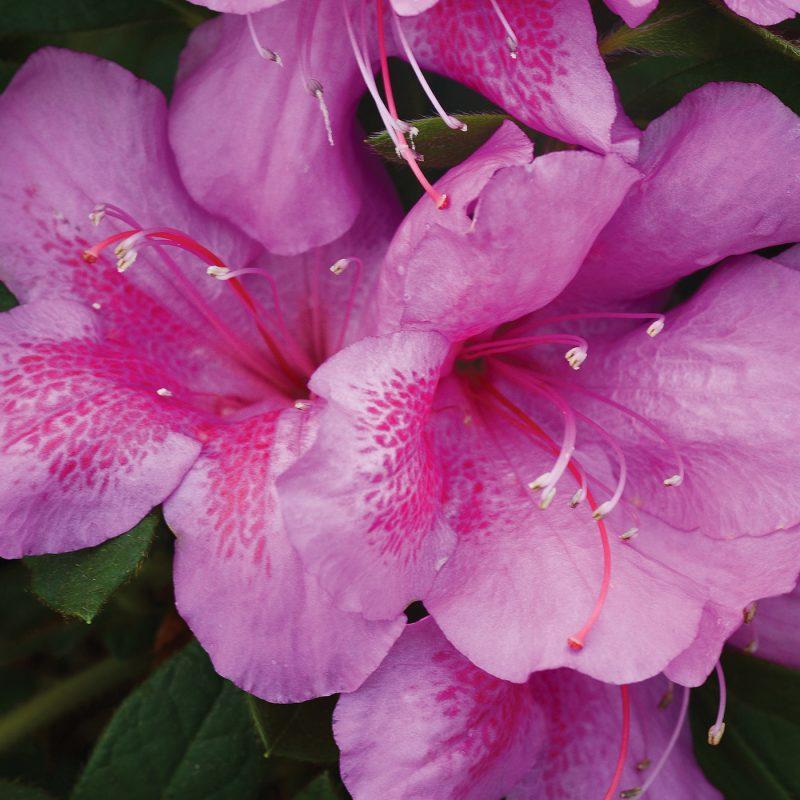 FlorAmore Lavender Azalea