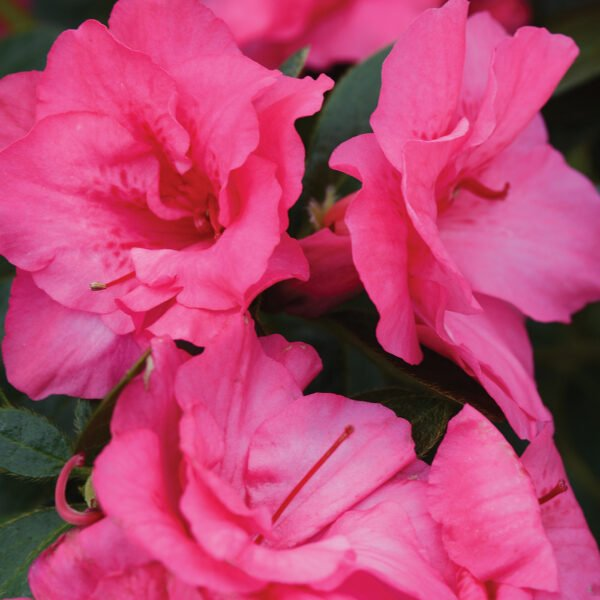FlorAmore Pink Azalea