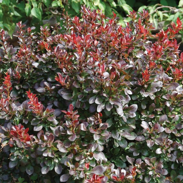 Berberis Midnight Ruby
