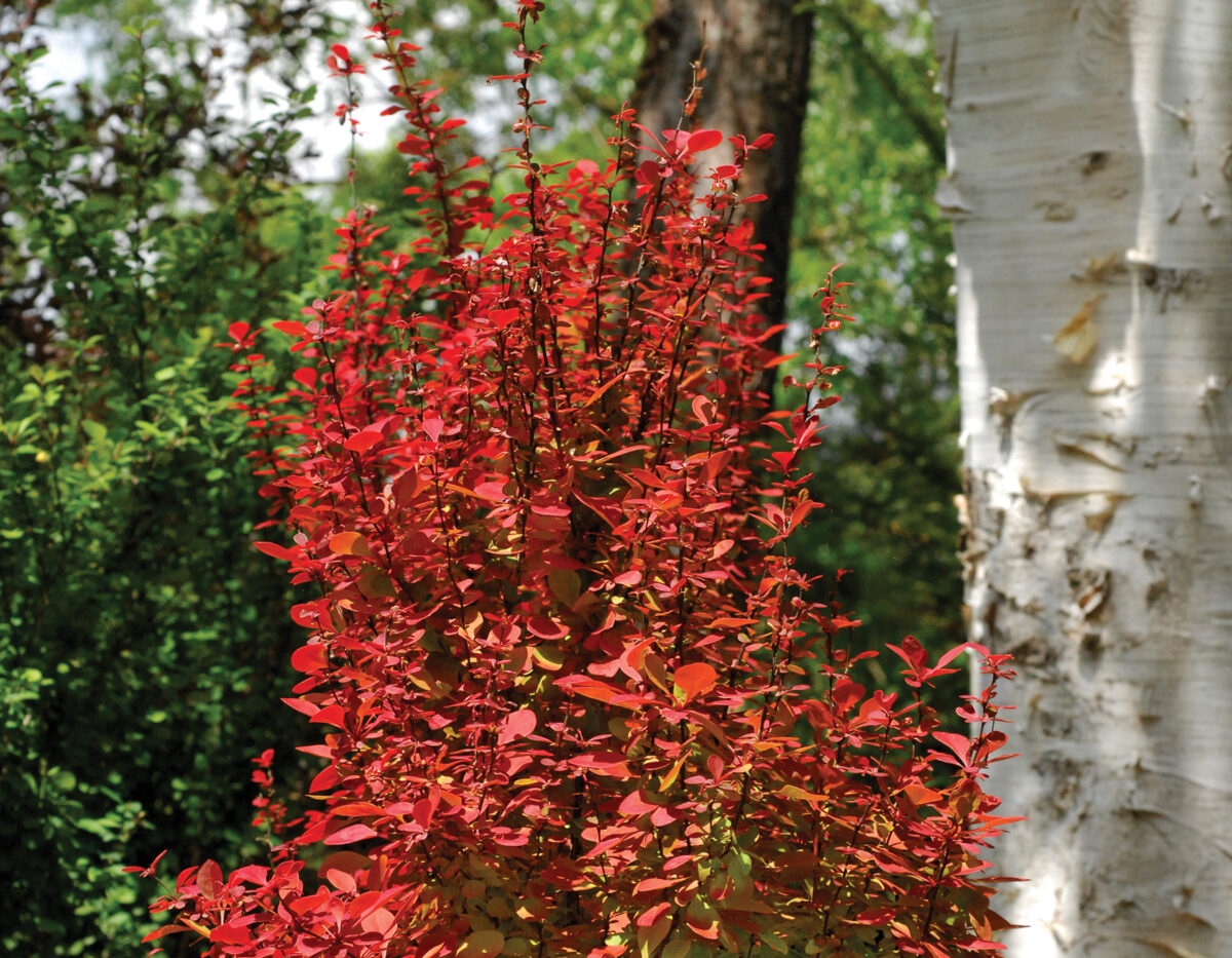 Berberis Orange Torch