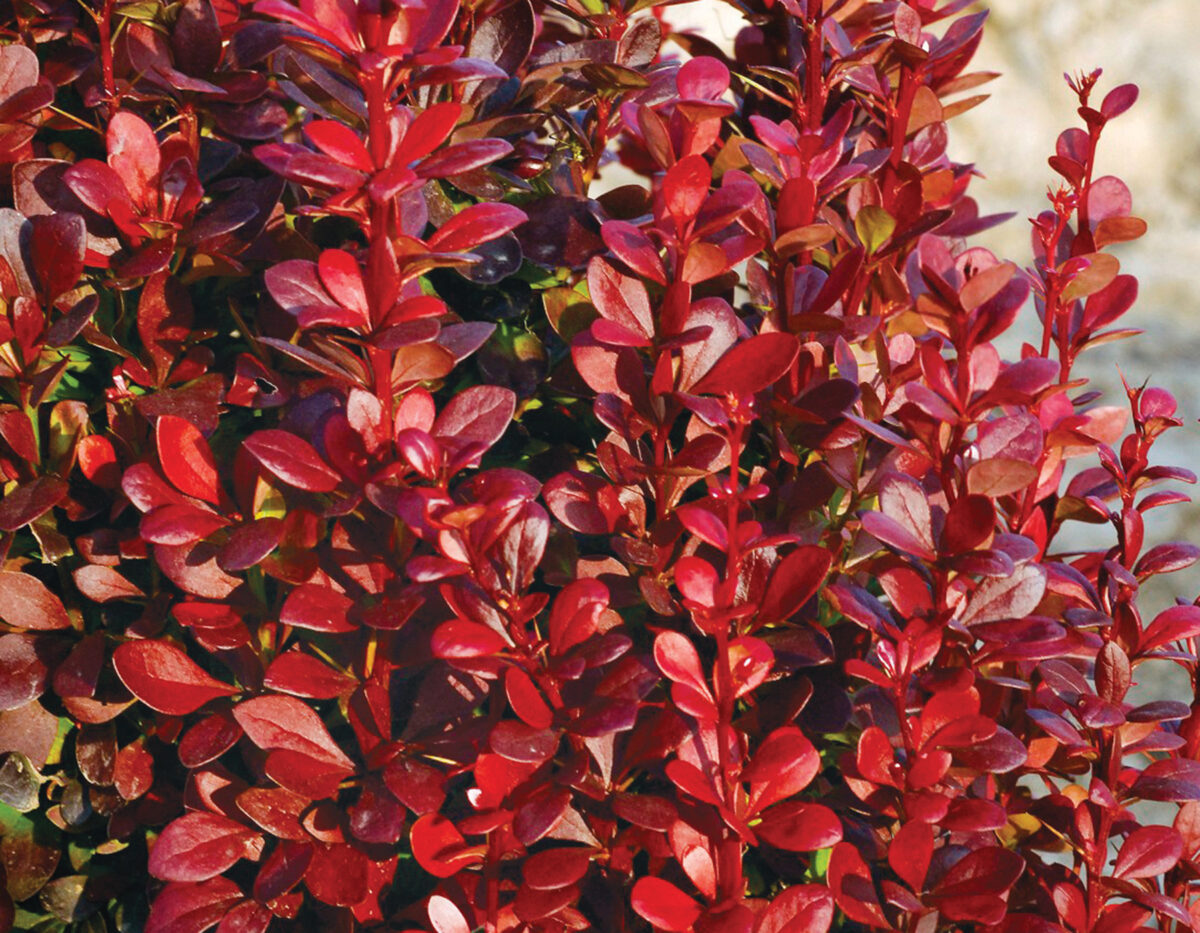 Berberis Red Torch