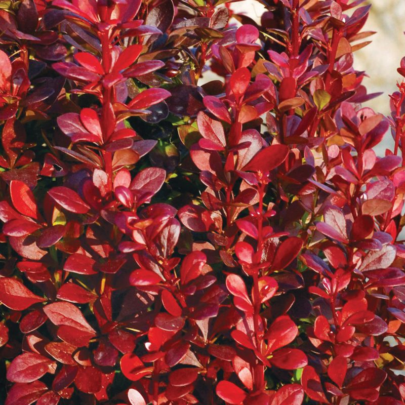 Berberis Red Torch