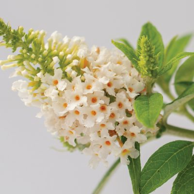 Dapper White Buddleia