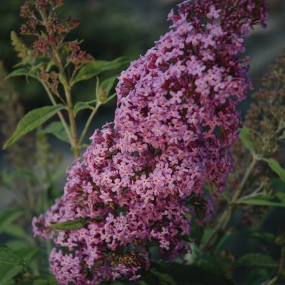 Flutterby Pink Buddleia