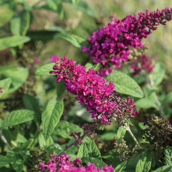 Summer Sips Sangria Buddleia
