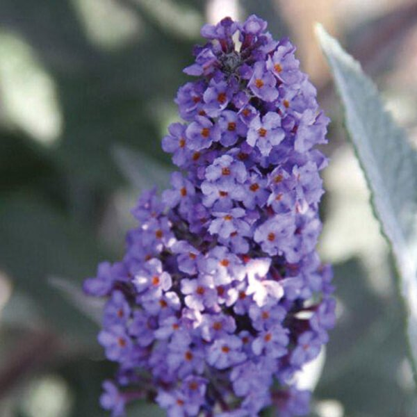 Buddleia True Blue