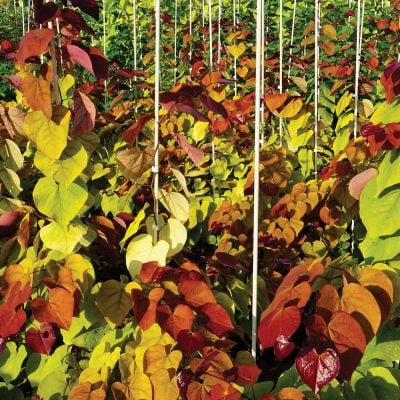 Flame Thrower Cercis