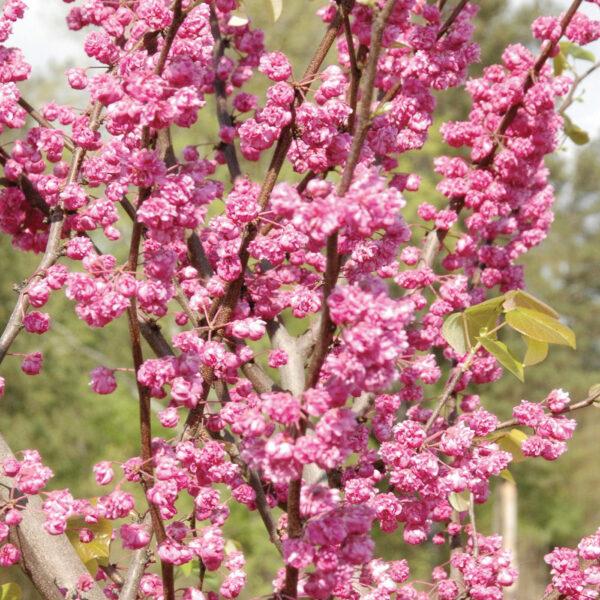 Cercis Pink Pom Poms
