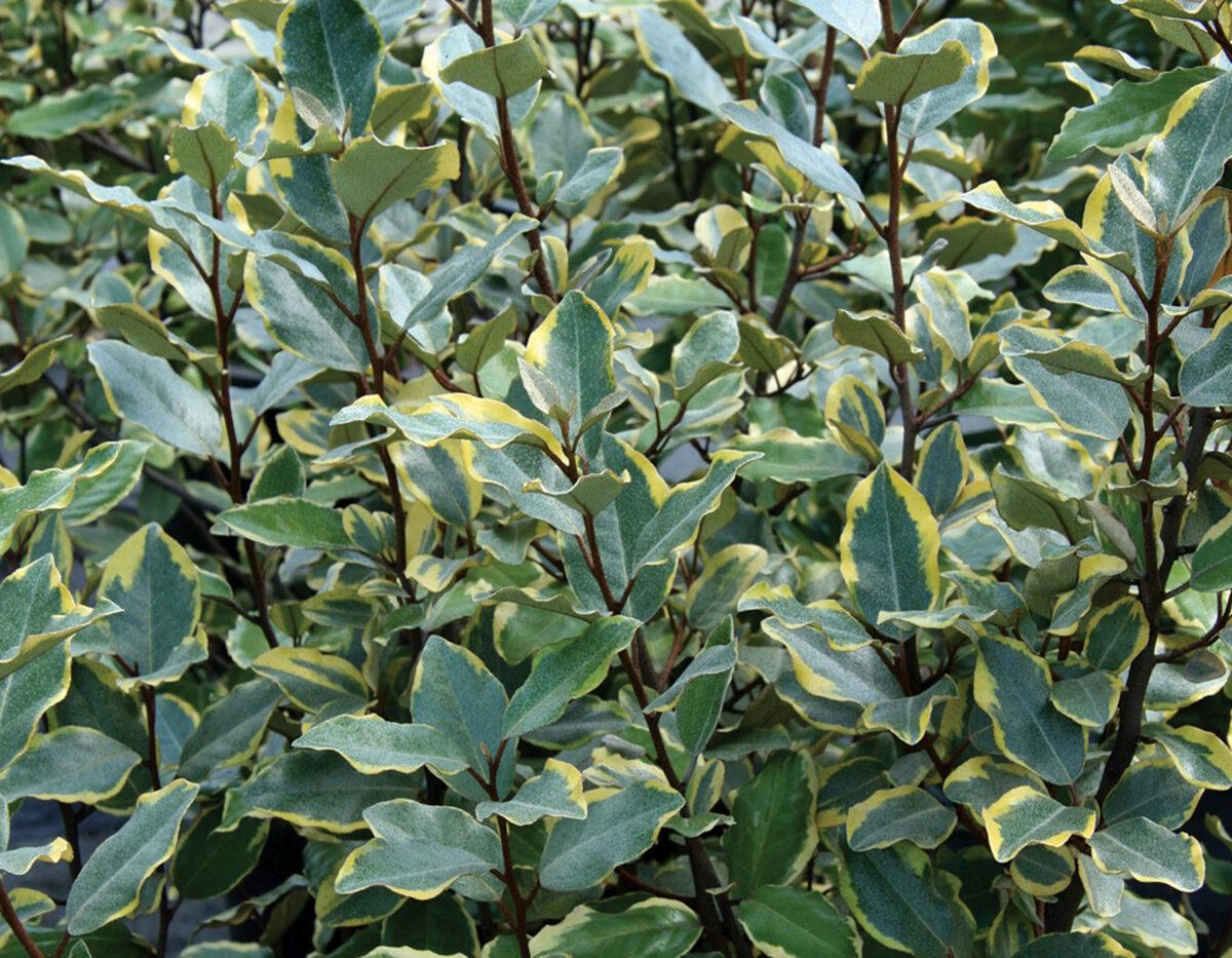 Olive Martini Elaeagnus