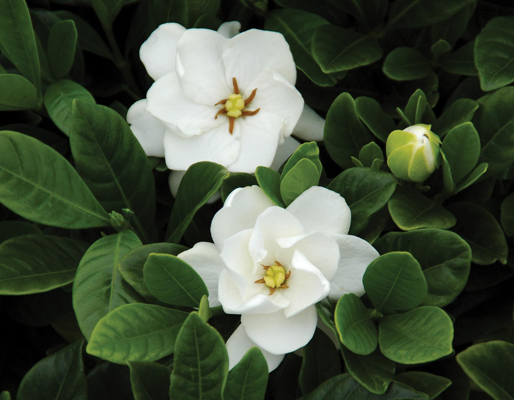 Gardenia Buttons 2