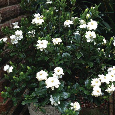 Gardenia Buttons 1