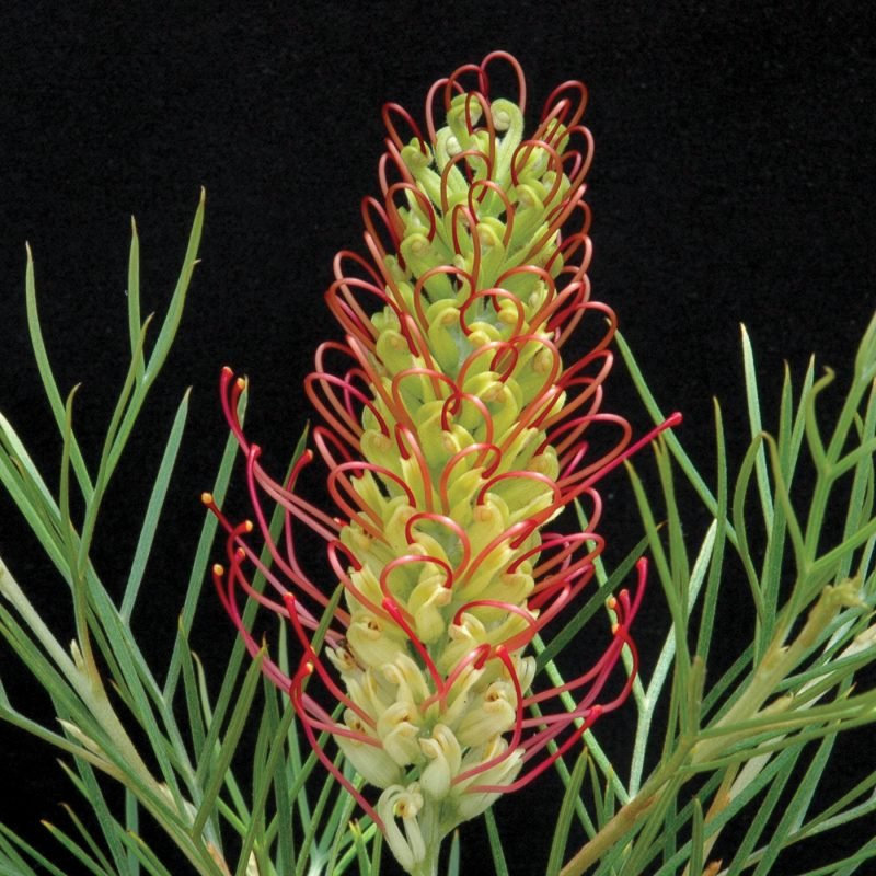 Grevillea Kings Rainbow
