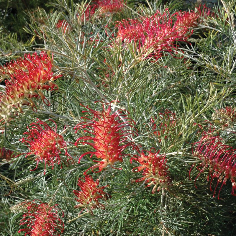 Grevillea Spirit of Anzac