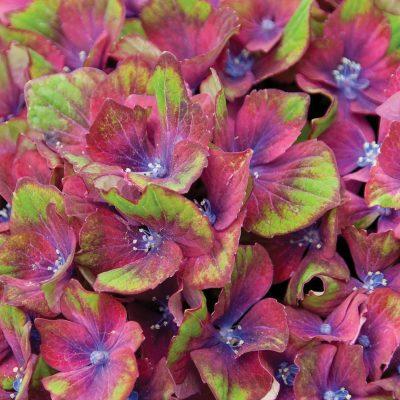 Hydrangea Pistachio