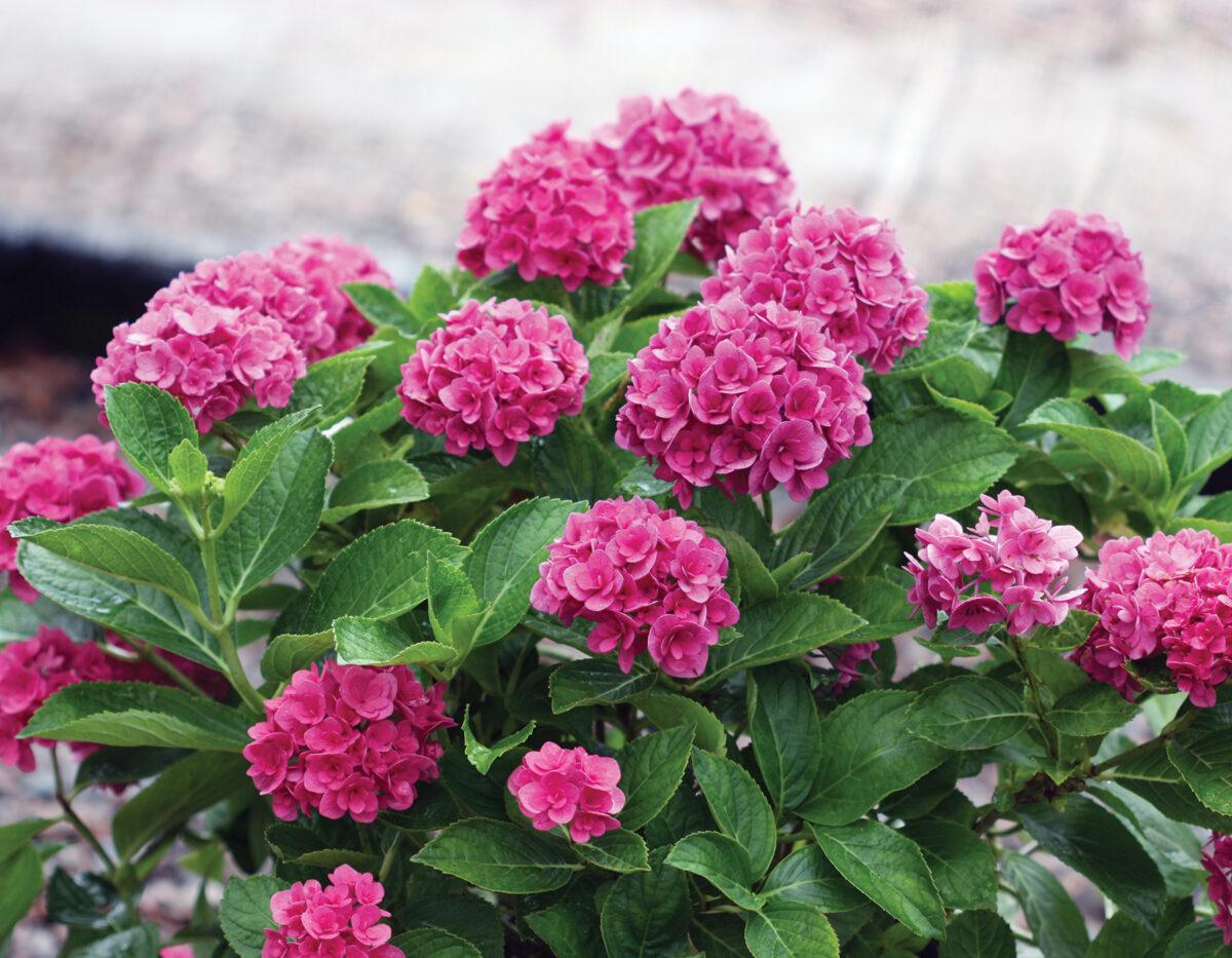 Hydrangea Ruby Blossom