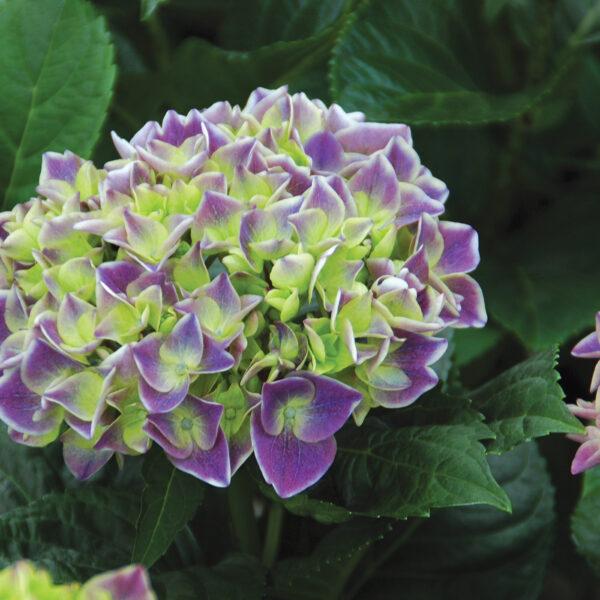 Hydrangea Violet Crown