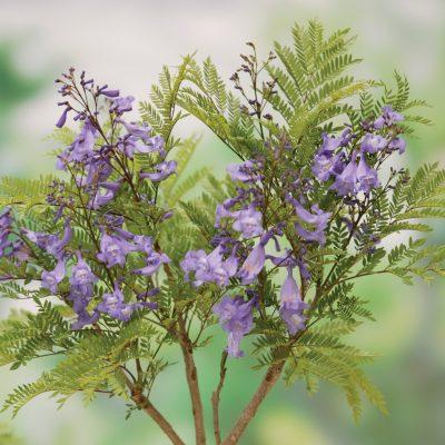 Jacaranda Bonsai Blue 1