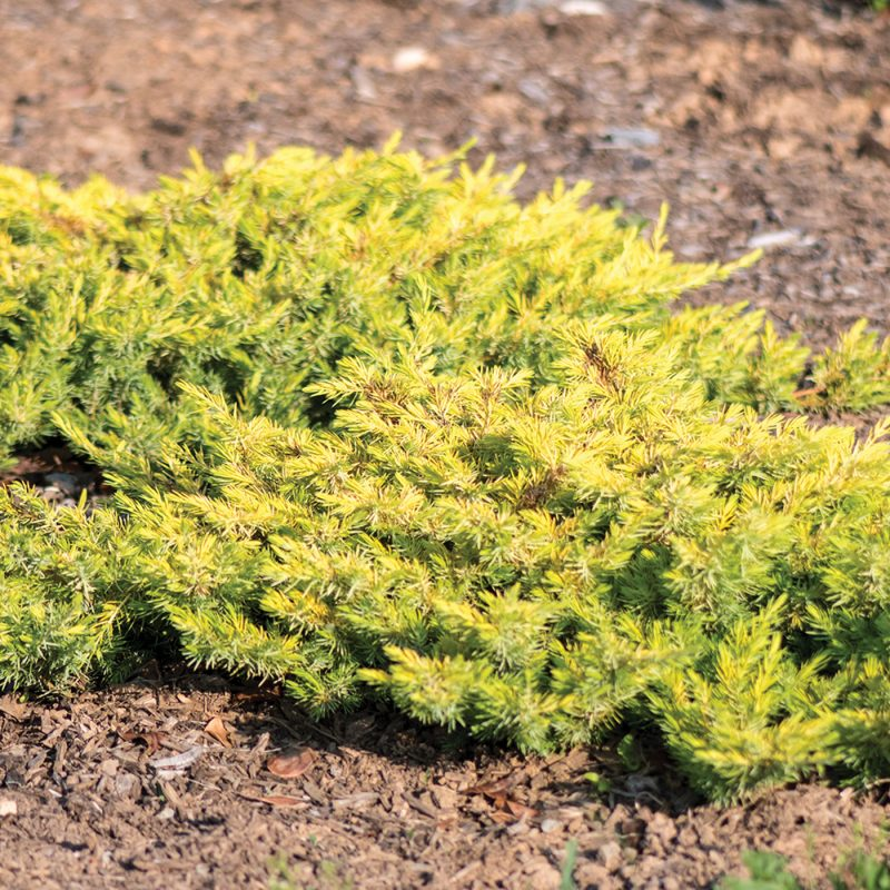 Golden Pacific Juniper