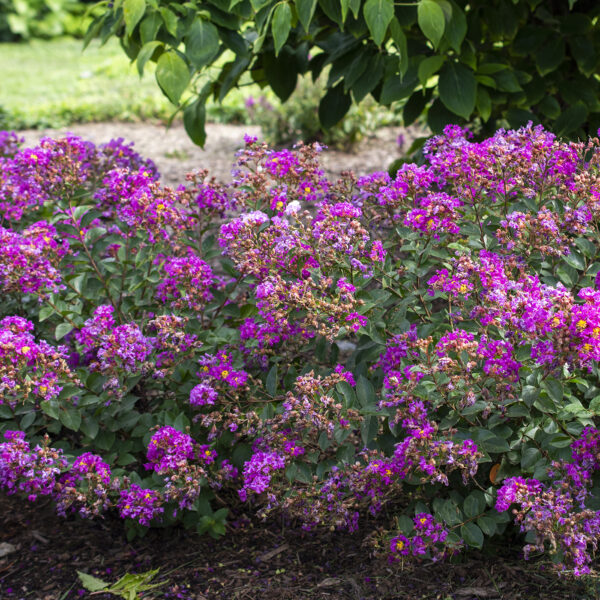 Bellini Grape Lagerstroemia