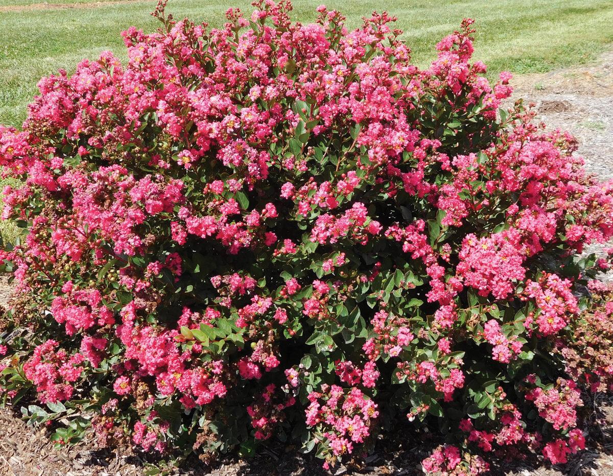 Bellini Raspberry Lagerstroemia 1
