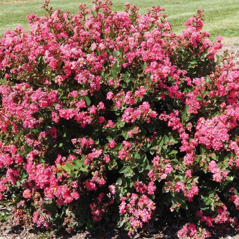 Bellini Raspberry Lagerstroemia