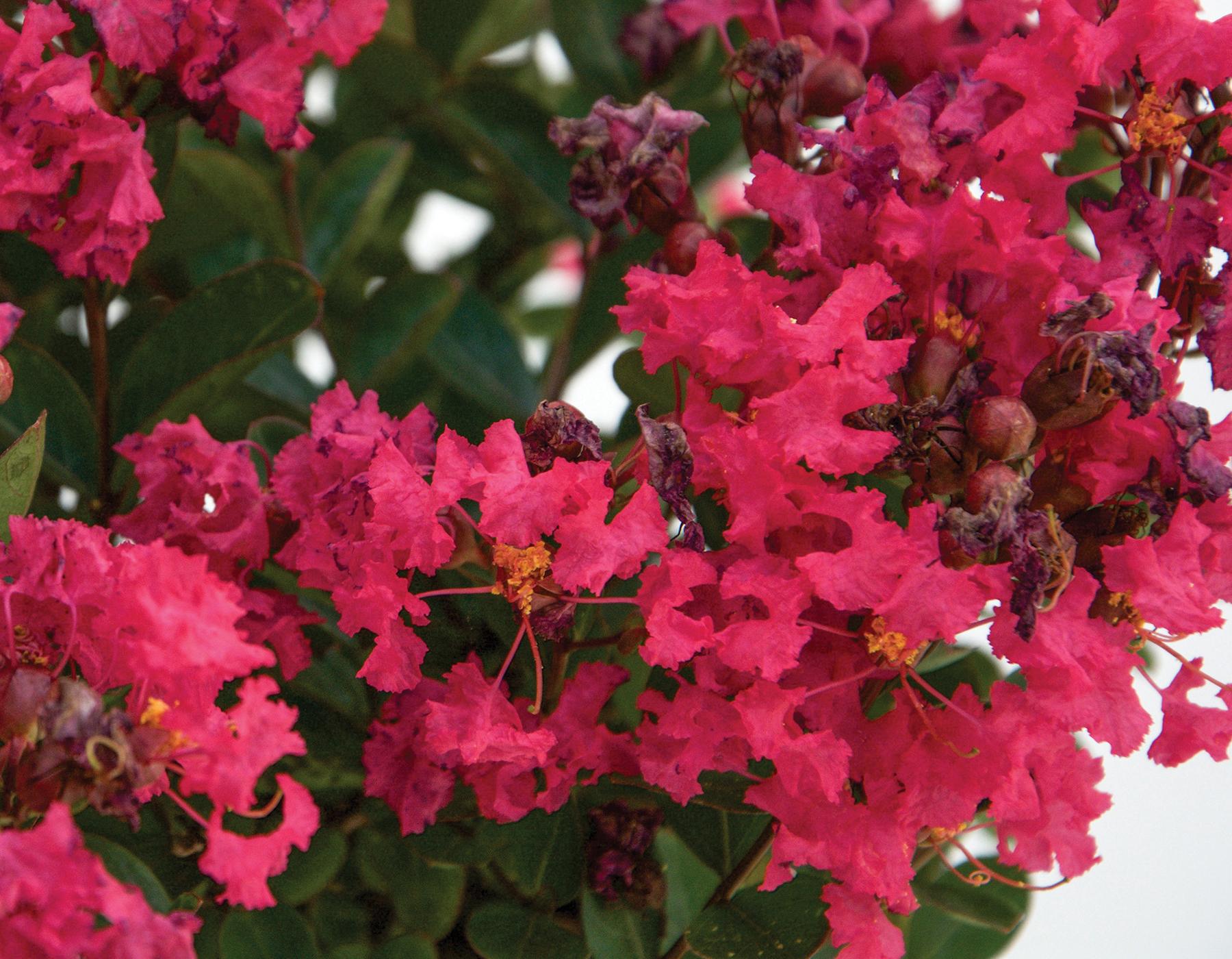 Bellini Raspberry Lagerstroemia 2