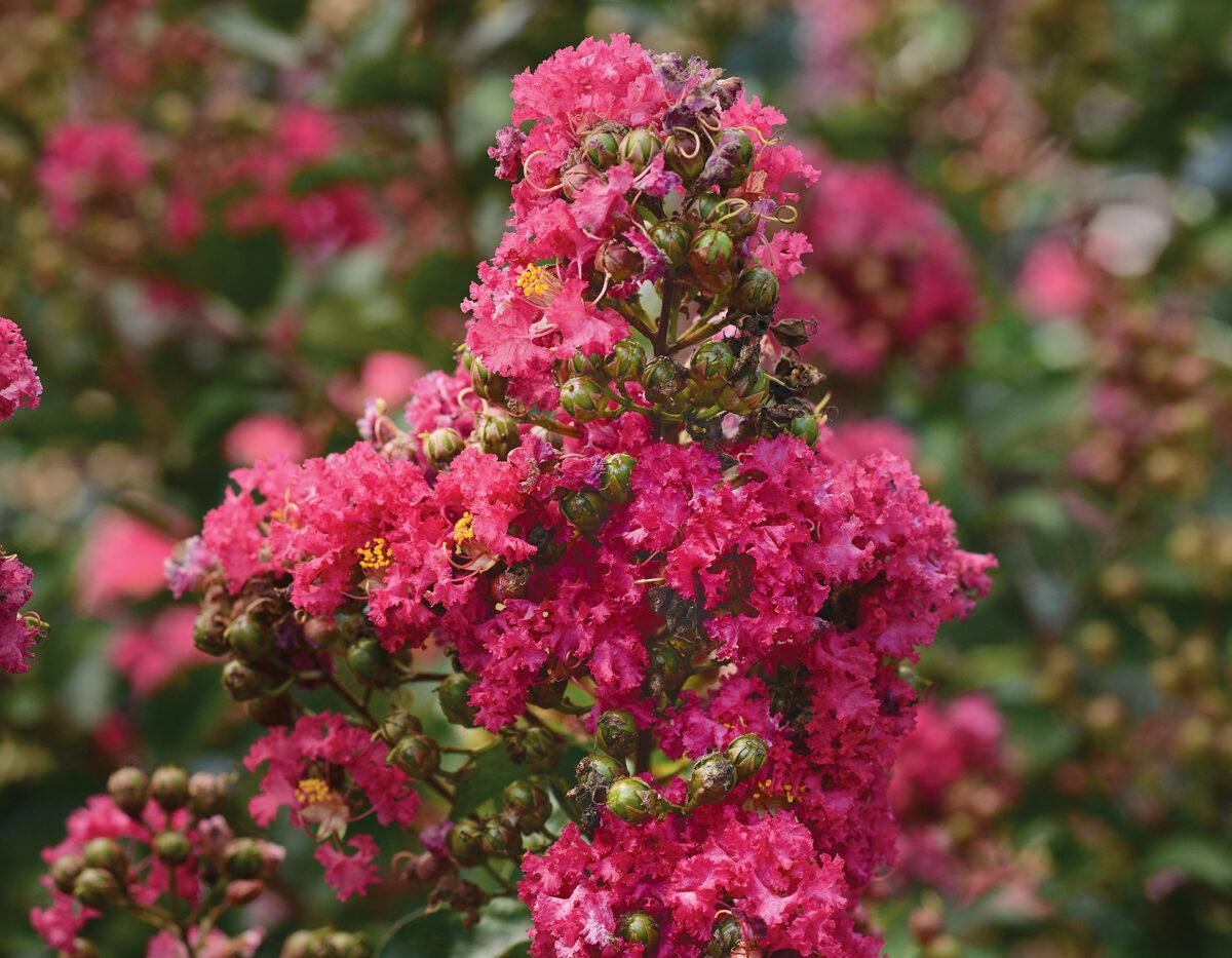 Lagerstroemia Enduring Fuchsia