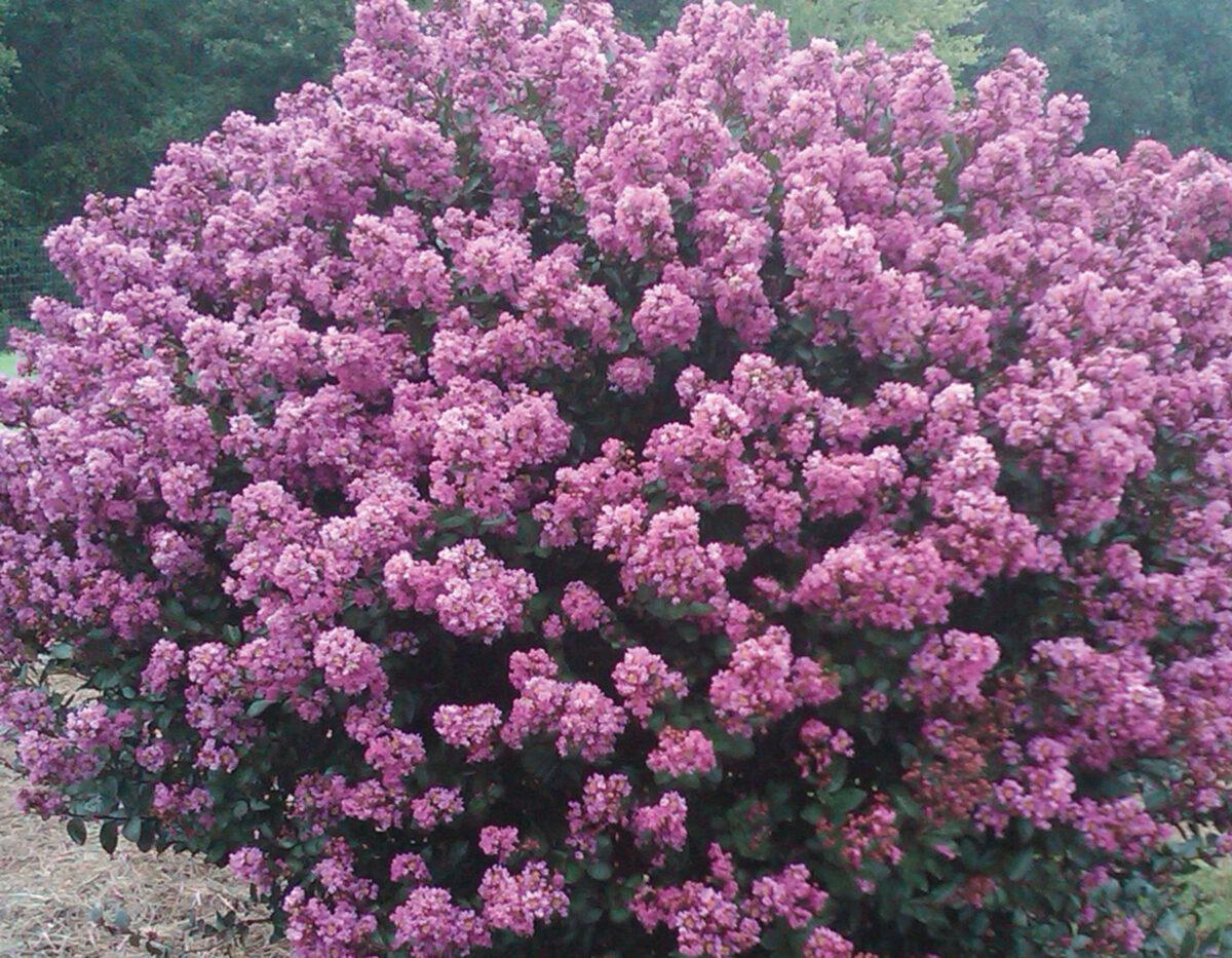 Lagerstroemia Enduring Lavender