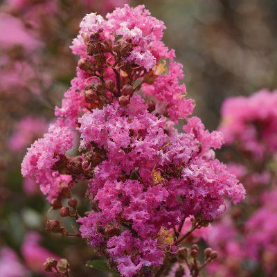 Lagerstroemia Enduring Lavender 1