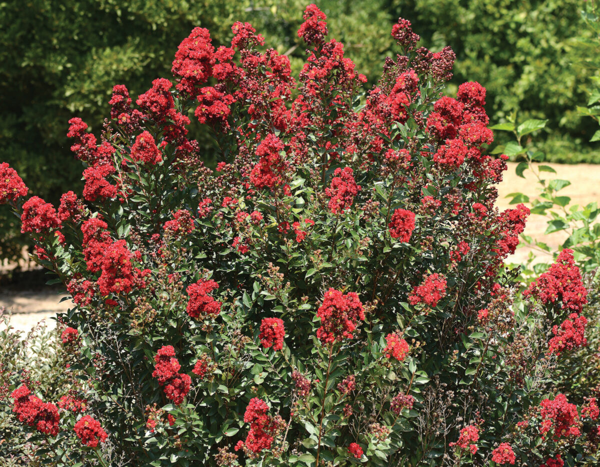 Lagerstroemia Enduring Red