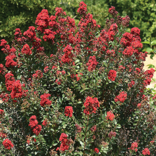 Lagerstroemia Enduring Red 2