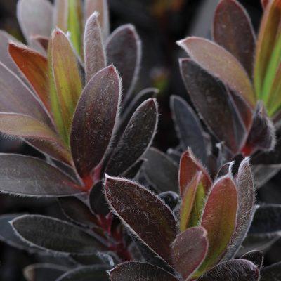 Leucodendron Ebony