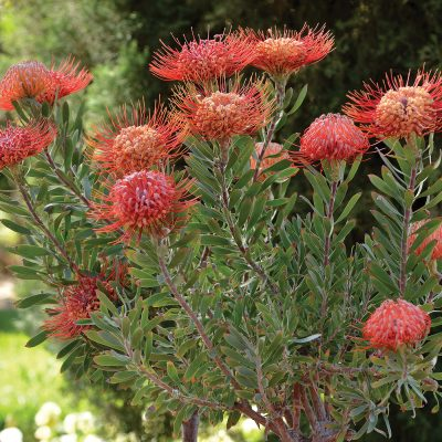 Leucospermum Royal Hawaiian Blanche Ito
