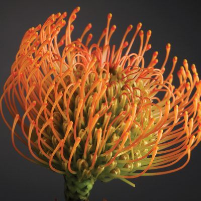 Leucospermum Royal Hawaiian Brandi