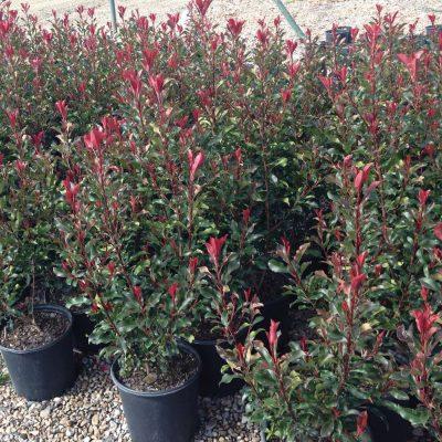 Photinia Dynamo Red 1
