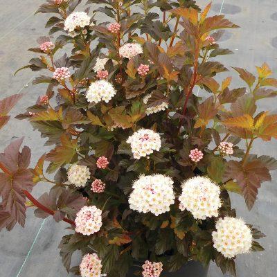Physocarpus Alouette