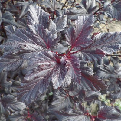 Physocarpus Black Jack
