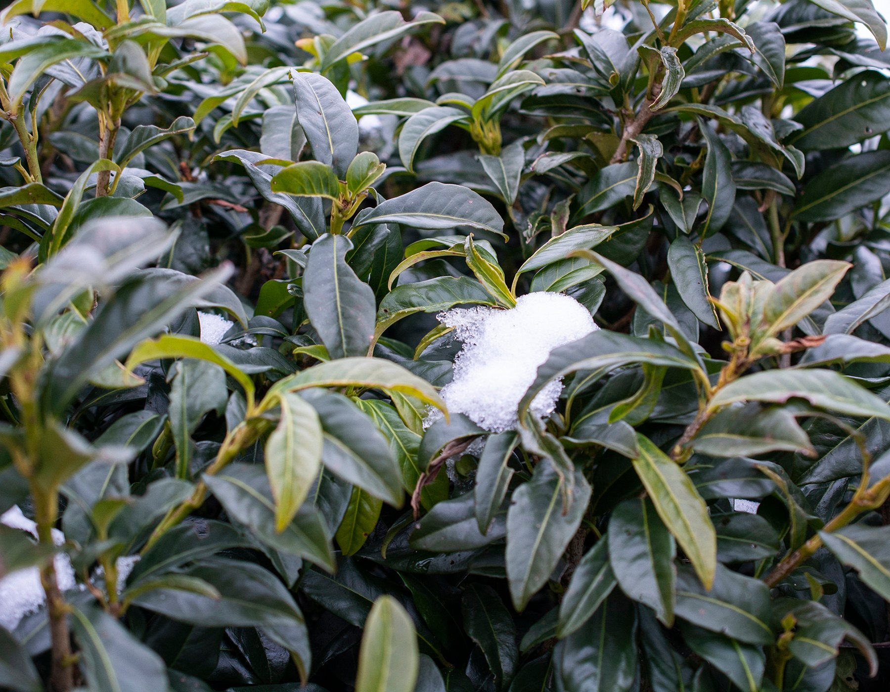 Prunus Chestnut Hill Winter Foliage