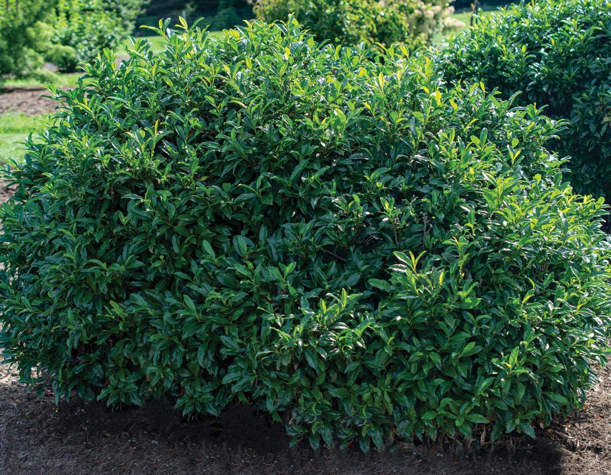 Prunus Chestnut Hill 3