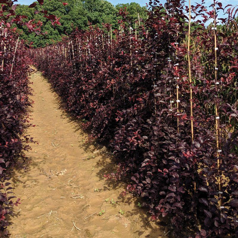 Purple Plunge Prunus