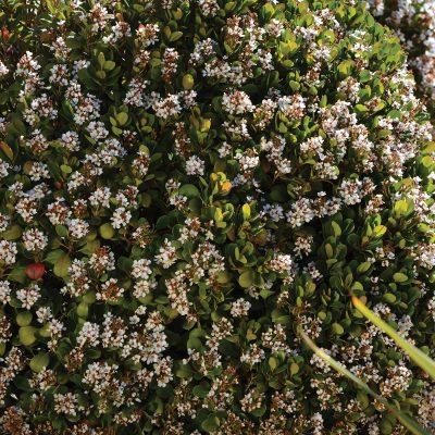 Rhaphiolepis Oriental Pearl 1